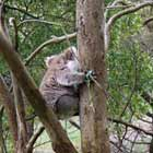 Koala in Tower Hill State Game Reserve